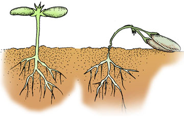 Clip Art Tomato Seeds Clipart.