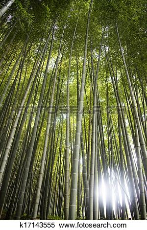 Stock Image of Beautiful bamboo forest in south korea Damyang.