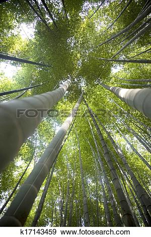 Stock Photograph of Beautiful bamboo forest in south korea Damyang.