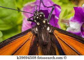 Danainae Images and Stock Photos. 107 danainae photography and.