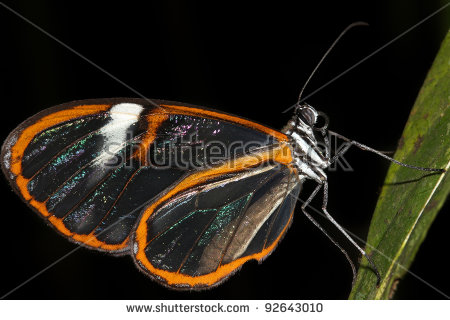 Glass Wing Butterfly Stock Photos, Royalty.