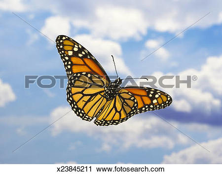 Stock Photography of Monarch butterflies (Danaus plexippus.