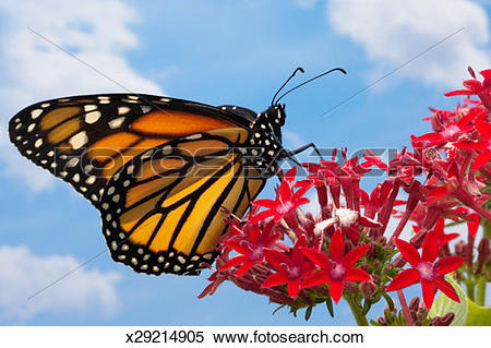 Stock Image of Female monarch butterfly (Danaus plexippus) on red.