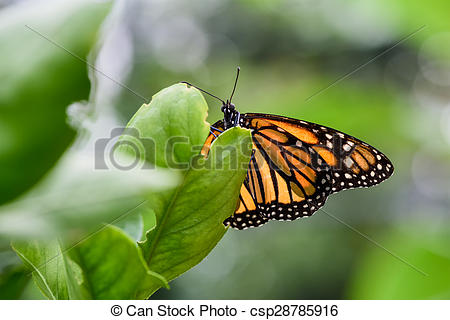 Clipart monarch butterfly male.