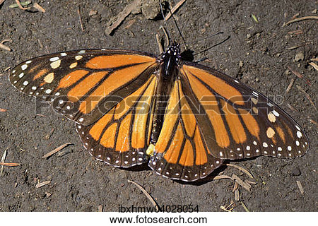 Monarch mexico clipart.