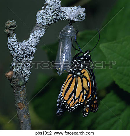 Stock Photo of A Monarch Butterfly (Danaus plexippus) just emerged.