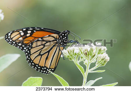Stock Photo of A Monarch Butterfly (Danaus Plexippus) Resting On.
