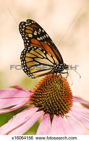 Stock Images of Monarch Butterfly (danaus plexippus) on flower.