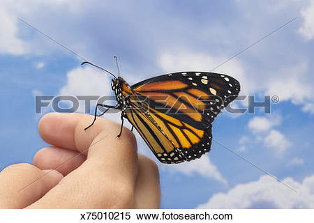 Stock Image of Monarch butterfly (Danaus plexippus) on man's hand.