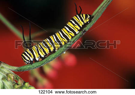 Stock Photo of monarch butterfly.
