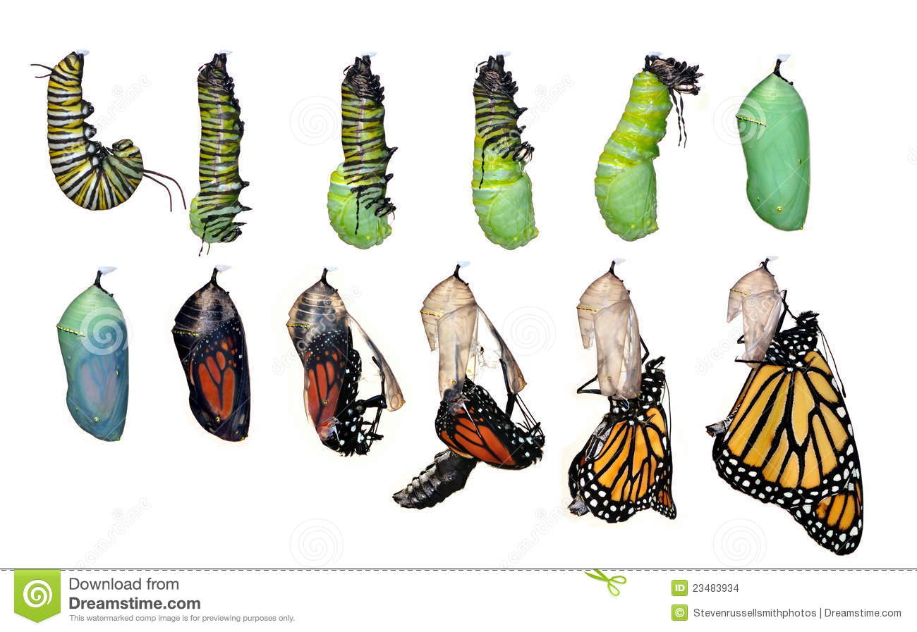 Monarch Butterfly Life Cycle (Danaus Plexippus) Stock Images.