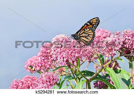 Stock Photography of Monarch Butterfly (Danaus plexippus) on Swamp.