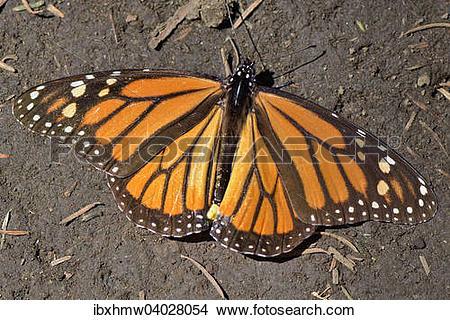 """Stock Photo of """"Monarch butterfly (Danaus plexippus), El Rosario."""