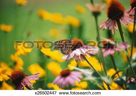 Picture of Monarch butterfly (Danaus plexippus) on flower, close.