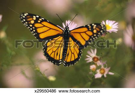 Stock Images of Milkweed Monarch (Danaus Plexippus) on flower.