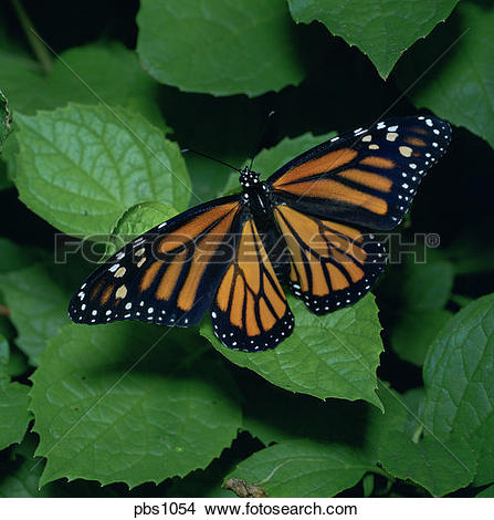 Stock Photo of A Monarch Butterfly (Danaus plexippus) rests with.