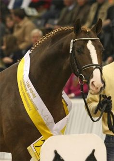 38 Best CH Stallions images.