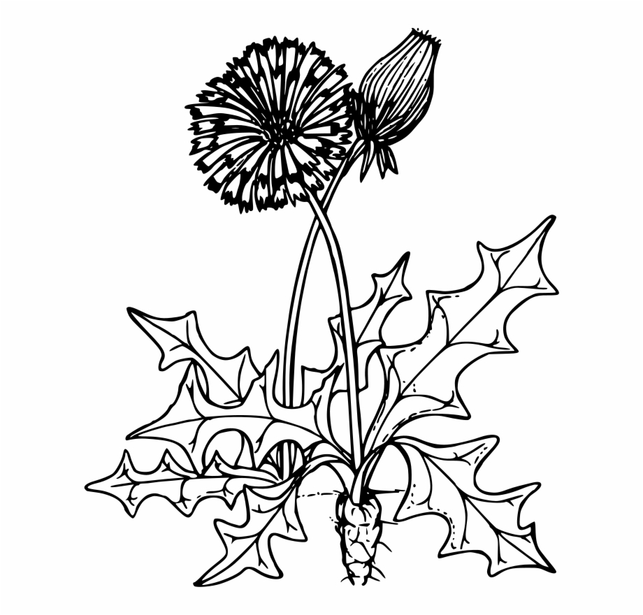 Dandelion Clipart Free For Download.