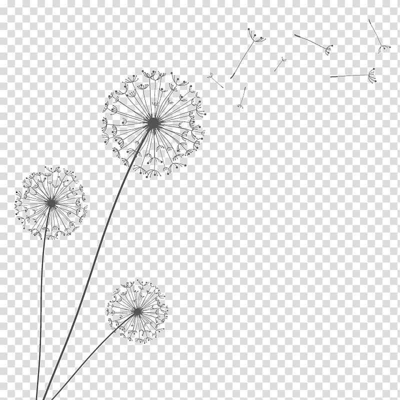 White dandelion flowers , Euclidean Dandelion, dandelion.