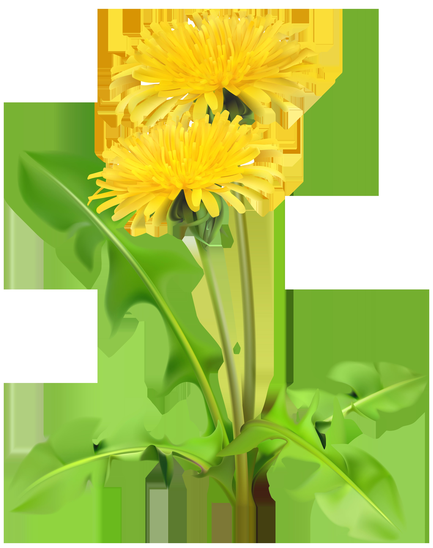 Dandelions PNG Transparent Clip Art Image.