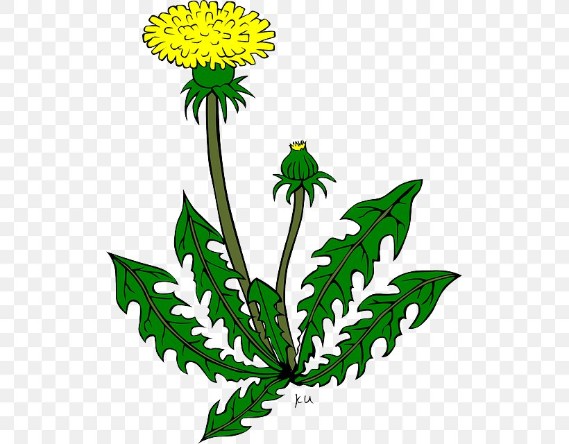 Common Dandelion Drawing Clip Art, PNG, 513x640px, Common.
