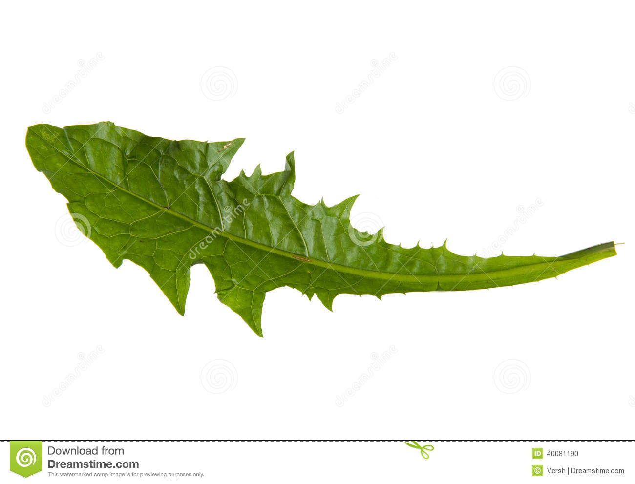 Dandelion Leaf Stock Photos.