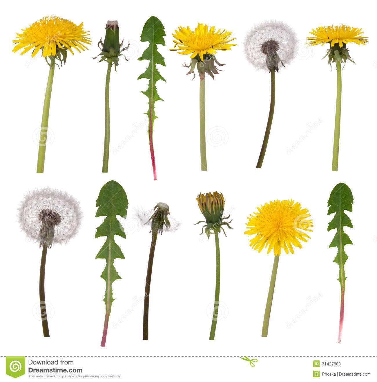 Dandelion Flowers And Leaves Stock Photos.