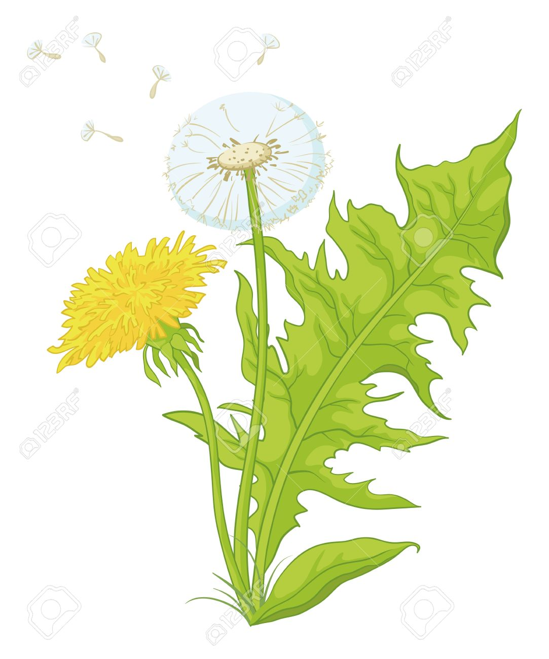 Flowers Dandelions With Green Leaves, Yellow, And With Seeds.