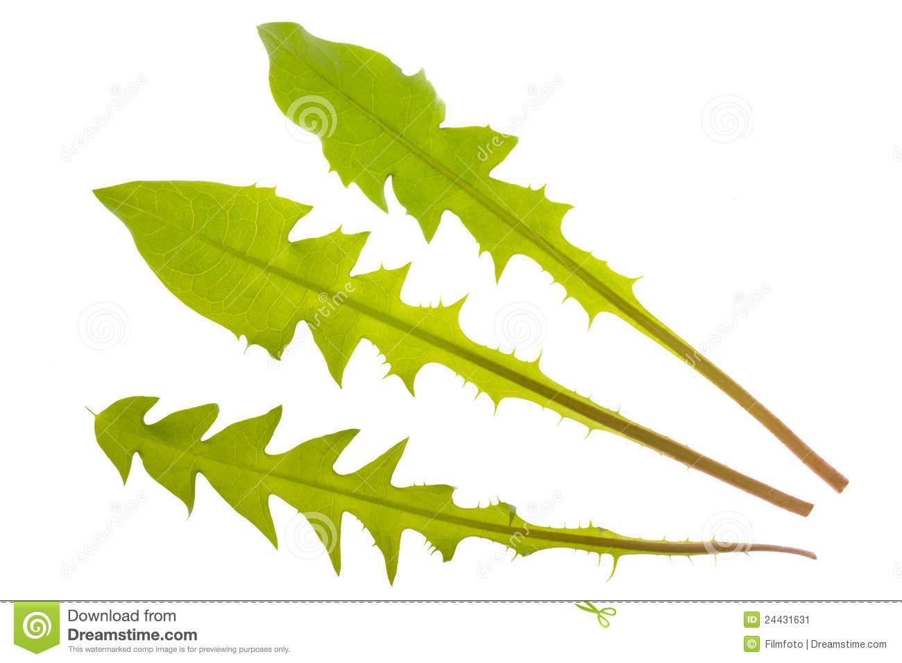 Dandelion Leaf Stock Image.