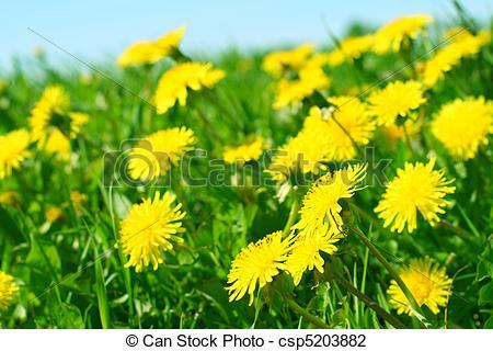 Stock Photo of dandelion field.