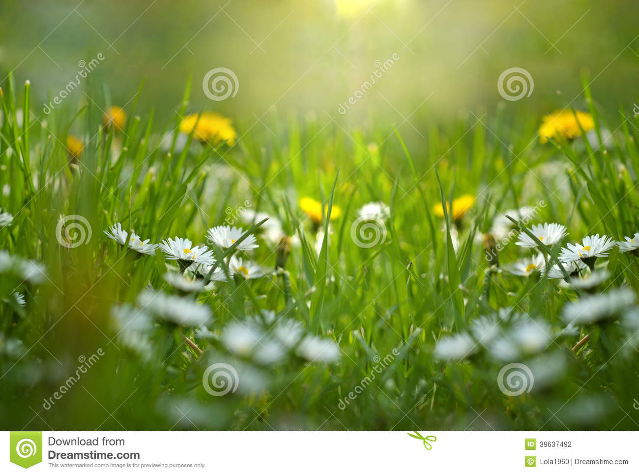 Little Daisy And Dandelion In Meadow Stock Photo.