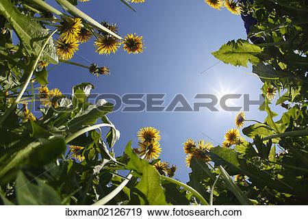 """Stock Photograph of """"Dandelion meadow, frog perspective."""