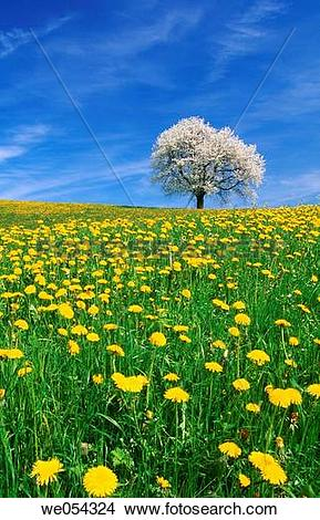 Stock Photo of Dandelion meadow with cherry tree in blossom.