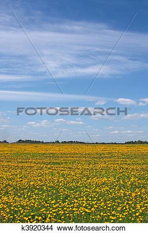 Stock Photo of Dandelion meadow k3920344.