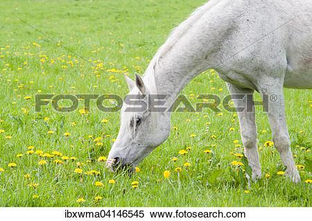 Stock Image of White horse on dandelion meadow, Masuria, Poland.