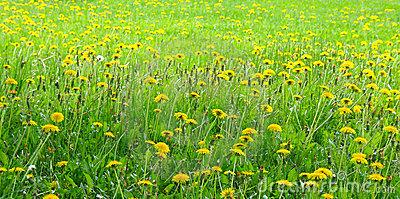 Dandelion Meadow Royalty Free Stock Photos.
