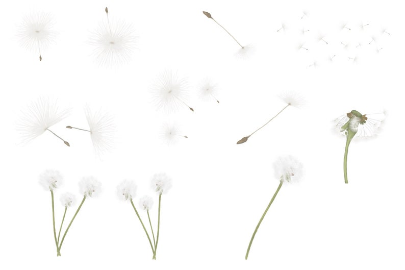 Hand painted dandelions, png file overlays, summer overlays, real dandelion  overlays, dandelion seeds, instant download, plants.