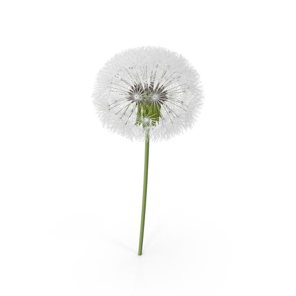 Dandelion Flower PNG Images & PSDs for Download.