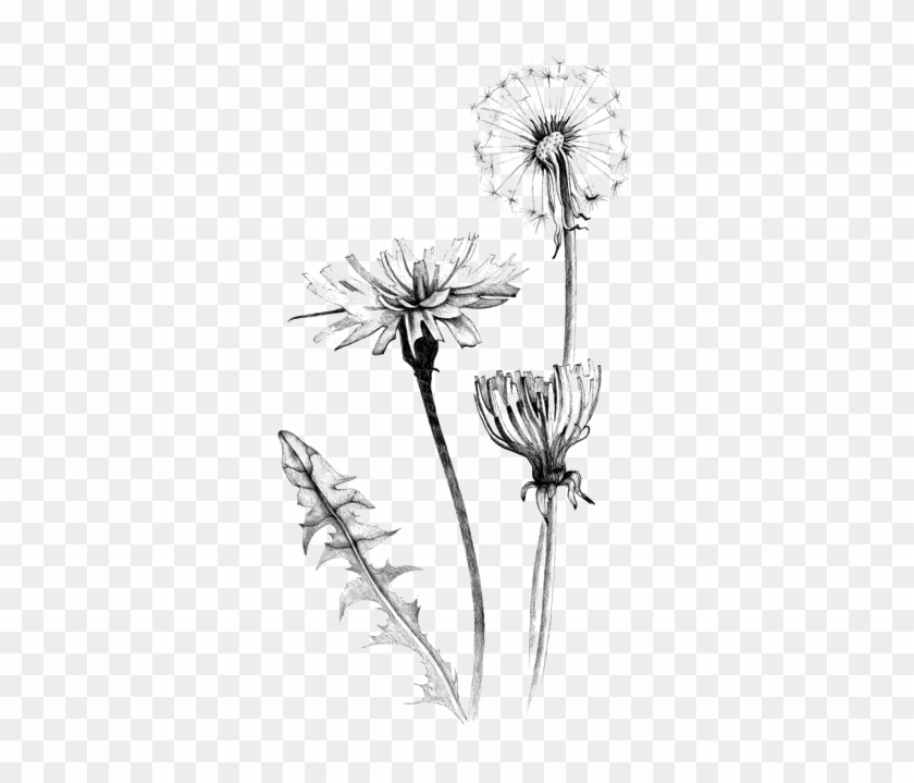 Graphic Royalty Free Download Common Dandelion Art.