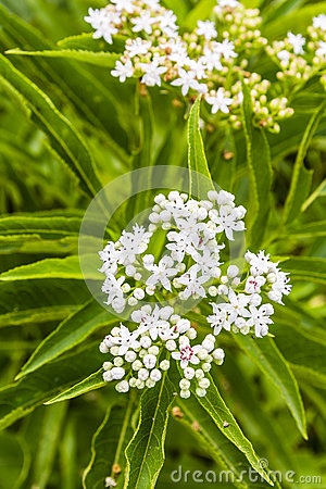 Elderberry (Sambucus Ebulus) Fruit Royalty Free Stock Image.