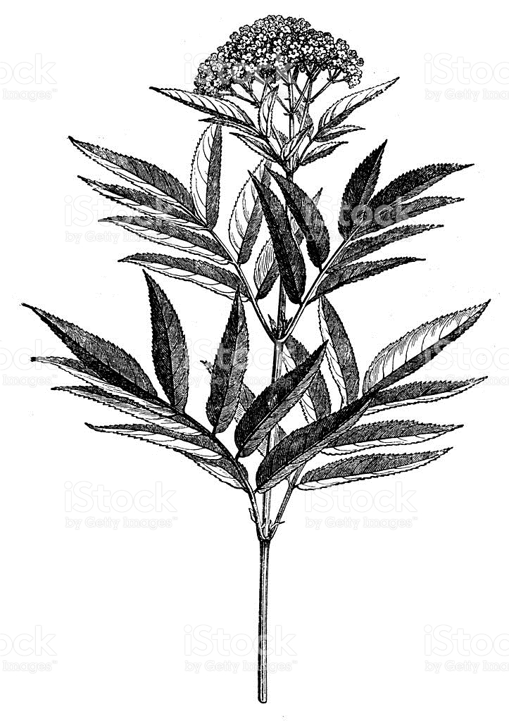 Antique Illustration Of Sambucus Ebulus stock vector art 468161133.
