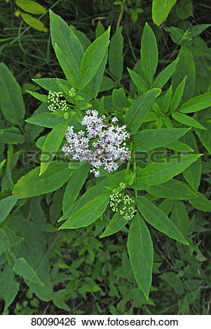 Stock Images of DEU, 2008: Danewort, Dwarf Elder, European Dwarf.
