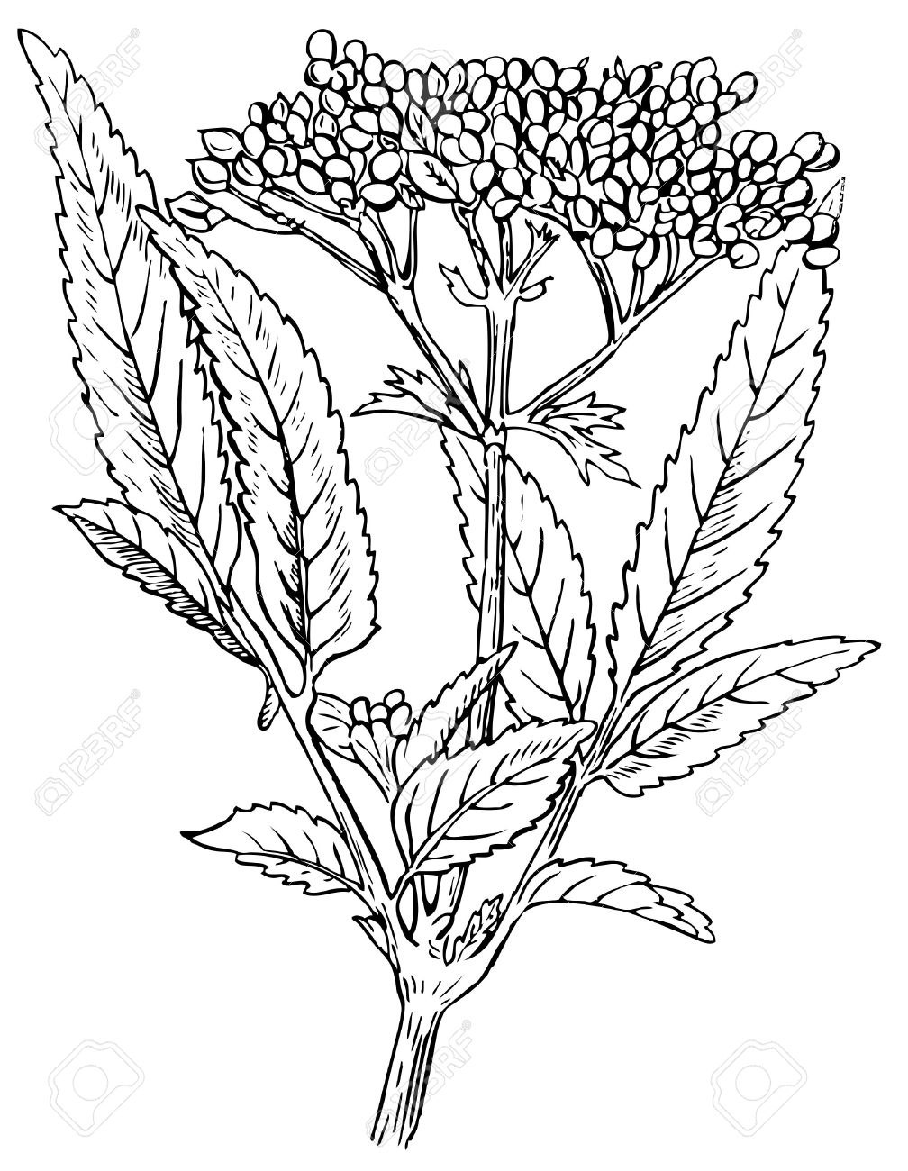 Plant Danewort Dwarf Elder Royalty Free Cliparts, Vectors, And.