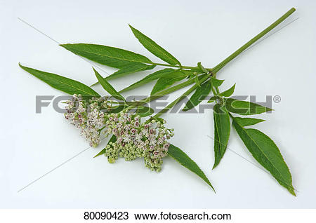 Stock Photo of DEU, 2007: Danewort, Dwarf Elder, European Dwarf.