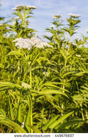 "sambucus Elder"" Stock Photos, Royalty."