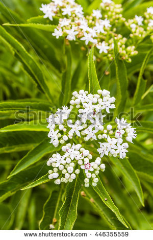 Sambucus Stock Photos, Royalty.