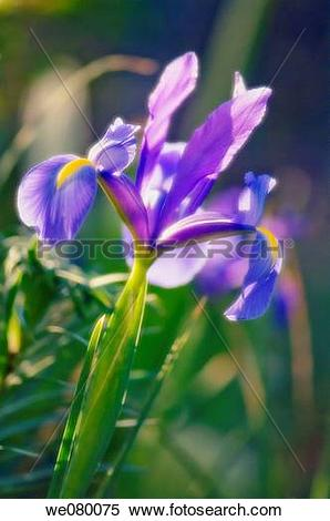 Stock Image of Blue Dutch Iris. Iris danfordiae. May 2007.