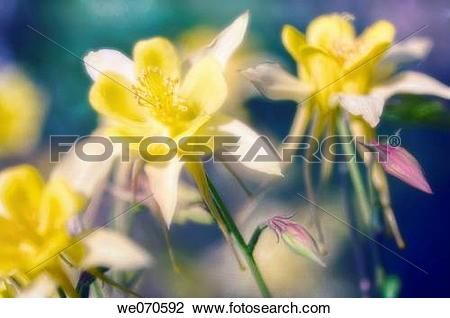 Stock Photo of Yellow Columbine Flowers. Aquilegia formosa. May.