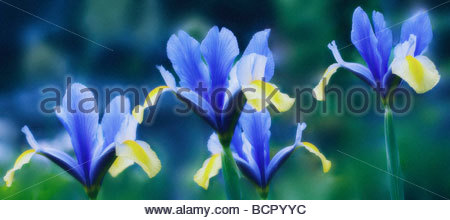 Blue Little Dwarf Stock Photo, Royalty Free Image: 123427530.