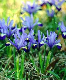 1000+ ideas about Dwarf Iris on Pinterest.